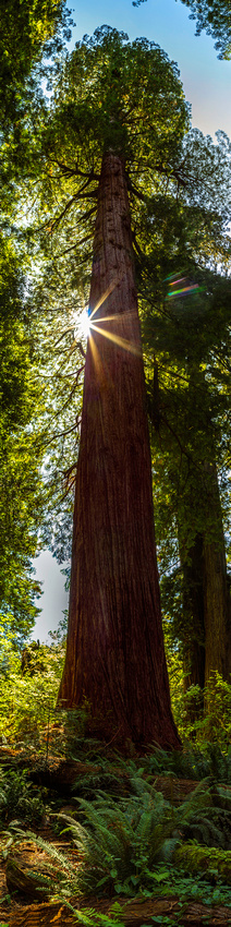 Magnificent Redwood LE -Redwood National Park
